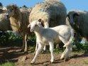 Niedliches Lamm, umgeben von seiner Herde