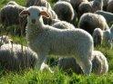Lamm schaut in die Kamera, im Hintergrund weitere Lämmer und Schafe
