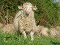 Schaf entfernt sich von seiner Herde um die Kamera etwas genauer zu betrachten