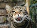Katze Zeigt Zähne und Zunge
