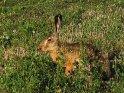 Wilder Hase in einem Naturschutzgebiet in Österreich