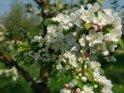 Blick entlang eines Apfelbaumzweiges mit Apfelblüten