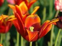 Rotlich orangene Tulpe
