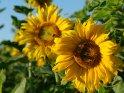 Sonnenblume mit einer Biene mit weiteren Sonnenblumen im Hintergrund
