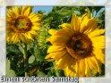 Grußkarte zum Samstag mit mehreren Sonnenblumen als Motiv