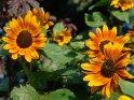 Bunte Sonnenblumen