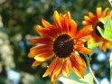 Rötliche Sonnenblume
