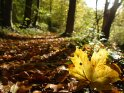 Ahornblatt auf einem herbstlich bedeckten Waldboden