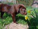 12 Wochen alter Labrador Welpe mit Narzisse