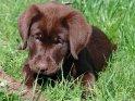 12 Wochen alter Labrador Welpe mit erdiger Schnauze