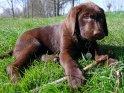 12 Wochen alter Labrador Welpe spielt mit einem Stöckchen