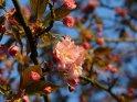 Kirschblüte einer japanischen Kirsche, die direkt am Baumstamm sitzt