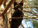 Katze klettert auf eine Tanne