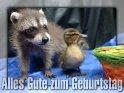 Alles Gute zum Geburtstag  Grusskarte mit zwei niedlichen Tierbabys:  Einem Entenküken und einem Waschbärbaby