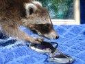 Etwa 5 Wochen alter Waschbär spielt mit einer Sonnenbrille    Dieses Motiv finden Sie seit dem 28. Mai 2007 in der Kategorie Waschbären.