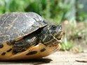 Schildkröte mit leicht eingezogenem Kopf