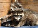 Drei junge Waschbären