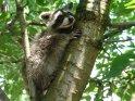 Waschbär klettert auf einen Baum