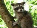 Niedlicher junger Waschbär auf einem Baum
