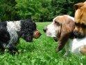 Hunde schauen sich in die Augen    Dieses Motiv findet sich seit dem 25. Juli 2007 in der Kategorie Hunde.