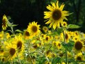 Foto von einem Sonnenblumenfeld