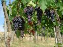 Weintrauben an einem Weinstock  Aus diesen Trauben wird wohl einmal ein Chianti