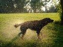 Hund schüttelt sich nach dem Schwimmen    Dieses Motiv findet sich seit dem 25. August 2007 in der Kategorie Hunde.