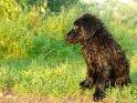 7 Wochen alter Welpe    Dieses Kartenmotiv ist seit dem 25. August 2007 in der Kategorie Hunde.