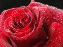 Rote Rose mit vielen kleinen Wassertropfen