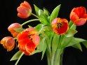 Tulpenstrauß mit rot-gelb-orangenen Tulpen vor schwarzem Hintergrund