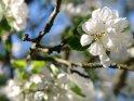 Kleiner Zweig mit Apfelblüten