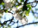 Apfelblüten im Gegenlicht