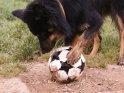 Hund spielt mit einem Fußball