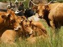 Rinder auf ihrer Bergwiese