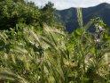 Getreidefeld mit den Bergen im Hintergrund