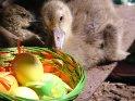 Gänseküken mit Ostereiern