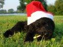 Welpe mit einer Weihnachtsmütze liegt im Gras und kaut auf einem Stöckchen herum.