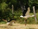 Zwei Störche beim Abfliegen