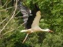 Storch kurz nach dem Abflug