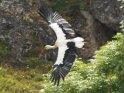Storch fliegt an Felsen vorbei