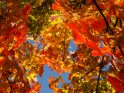 Foto mit einem Farbenmeer von bunt gefärbten Ahornblättern an einem wunderschönen Herbsttag.
