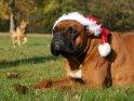 Boxer mit Weihnachtsmütze