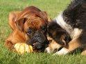 Hunde spielen mit einem Kürbis