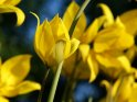 Wildtulpen (Tulipa sylvestris)