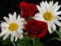 Zwei rote Rosen zusammen mit zwei Margeriten