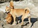 Zwei spielende Hunde auf Felsen