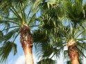 Palmen in Colonia Sant Jordi auf Mallorca