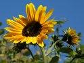 Dieses Motiv wurde am 27. September 2009 in die Kategorie Sonnenblumen eingefügt.