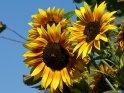 Mehrere Sonnenblumen vor blauem Himmel