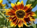 Gelbbraune Sonnenblume    Dieses Motiv befindet sich seit dem 27. September 2009 in der Kategorie Sonnenblumen.